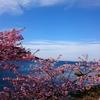 四浦の河津桜❀