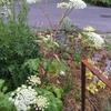 アマニュウの開花。