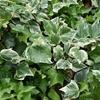 秋から始めるグランドカバープランツ9選     雑草対策
