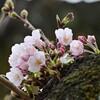 🌸今日も桜を探しました!(傳通院、上野公園)