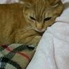 シニア猫さん必見! 甲状腺機能亢進症に低ヨウ素フード