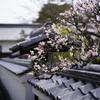隋心院で遅咲きの梅を撮ってきた2017