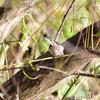 柳の木の中に小さな鳥が数羽、なんとかその姿を捉えると・・・