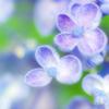 夏の夜空の星の花 雨が運びて開く紫陽花