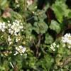 春の七草ナズナ