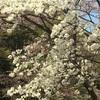 まだまだ桜(^-^)