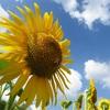ひまわりが太陽の方向を向くのは何故?実は花ではなく茎が関係していた!?