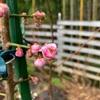 枝垂れ梅の開花