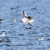 ミコアイサと飛ぶユリカモメ