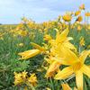花を見て季節を感じる。エゾカンゾウの咲く季節。