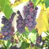 【勝沼ワイナリー巡りの旅1】羊もいるよ! 現存する日本最古のワイナリー「まるき葡萄酒」