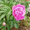 ピンクのお花 3種