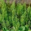 庭にある生えているドクダミという雑草を抜きながら考えたこと