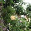 小さな庭のバラ 2018 Ⅱ