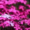 三島さん家の「芝桜の丘」