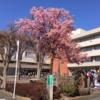 中央地区の河津桜、市民会館前!