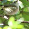 猛禽類の獲物はツグミ?(大阪城野鳥探鳥20210109 6:50-13:15)