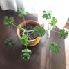 ハーブ植木鉢