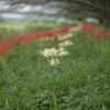 華麗に咲く白い彼岸花。XF 56mm F1.2で撮影【365プロジェクト】78/365