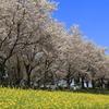 尾根緑道の桜2018(2018/3/31)