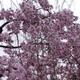 樹木公園130品種の桜(前編)