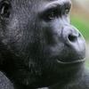 【Western Lowland Gorilla】