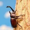 今年もカブトムシの幼虫を持ち帰りました・・・(T_T)