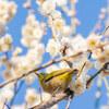 【文京区】小石川植物園の梅が見頃です