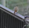 早朝探鳥3連発、善福寺公園・井の頭公園の野鳥。