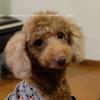 保護犬トイプードルの里親になりました!ペットショップで犬を買うその前に考えて欲しいこととは?