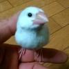 白文鳥の桜