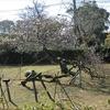 熊本県八代市松井神社の臥竜梅ようやく満開間近