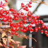 雪融け、「原種プリムラ」が冬越し中。