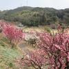 梅まつり3(山口県光市、冠山総合公園)
