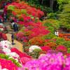 【速報】根津神社のつつじが満開です【2018年】