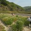 カモミールの収穫はじまりました。
