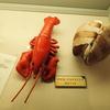 怒涛のカイミジンコとドジョウ推し、琵琶湖博物館