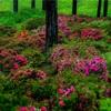 東京・青梅 - 霞丘陵の山肌に咲くサツキと紫陽花