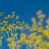秋の七草、オミナエシ