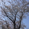 桜散る散る🌸