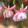 今日の誕生花「フクシア=ホクシャ」色どりの多い園芸種!