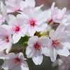 【LUMIX S5 + SIGMA 35mm F2 DG DN】散り始めた桜を試し撮りしてきました。