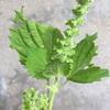 家庭菜園でわさわさ生えたシソの「実」を食べる。