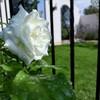 白いバラ アイス フラワー