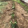 サトイモの土寄せと果菜類の整枝