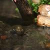スクミリンゴガイ Pomacea canaliculata