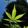 医療大麻(マリファナ)を解禁しろという人たちの情報の不自然な整形