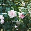 旧古河庭園さんぽ:ランチは駒込で。シンデレラが見ごろ&バラのシューアイスもおススメです!