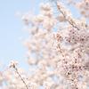 舞い散る桜に息をのみ、『AVALON』に思いをはせたい