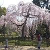 京都御苑の出水のしだれ桜2020、もう見頃【満開】